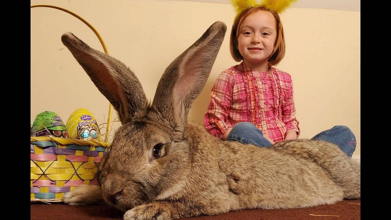 Кролики великаны: особенности содержания, топ-5 самых крупных пород