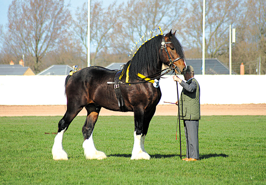 Лошади породы шайр: фото, описание, характеристика
