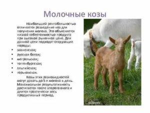 Зааненские козы: характеристика, содержание, уход