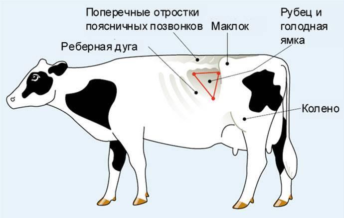 Шотландская корова: особенности породы и уход