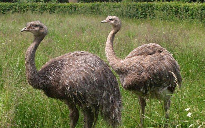 Удивительные животные мира: страус эму