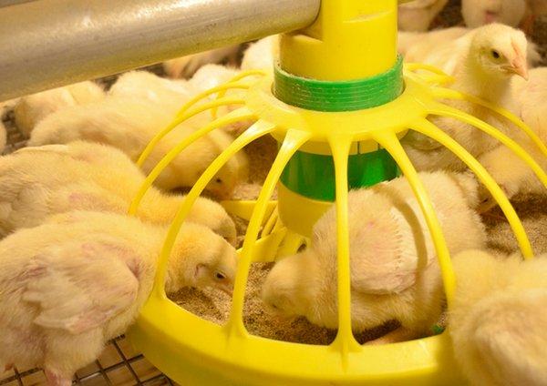 Кормление бройлеров в домашних условиях: особенности выращивания, как правильно растить и кормить цыплят