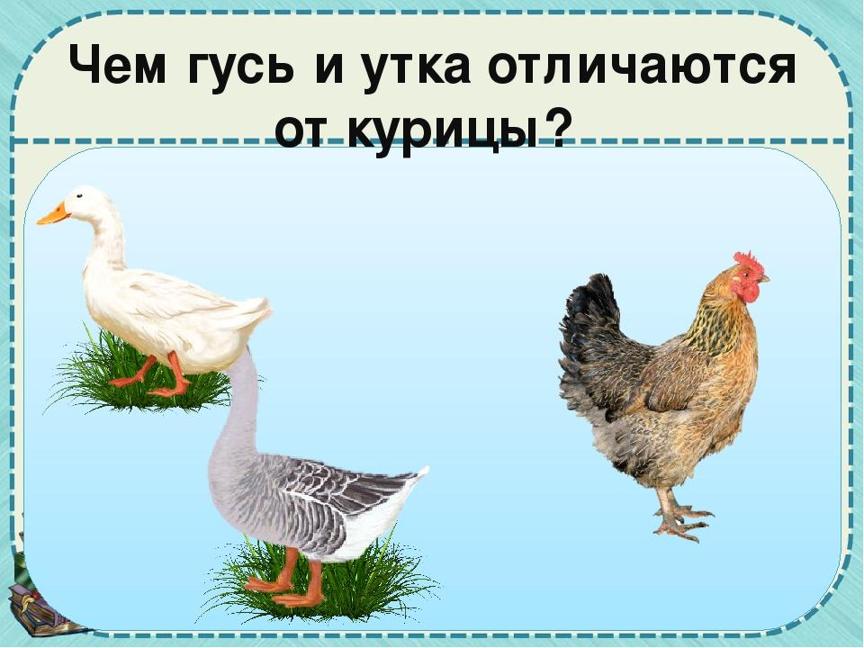 Разница между гусем и лебедем - знания
