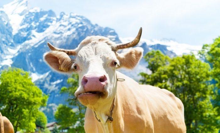 Что делать, если нет жвачки у коровы? 2020