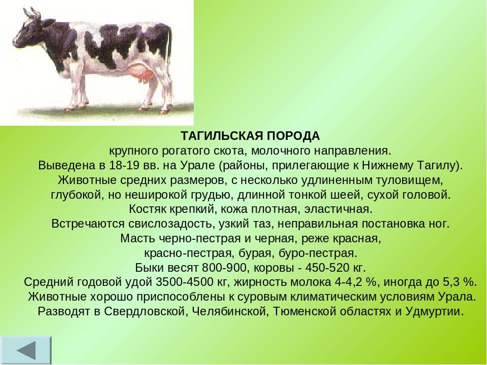 Айрширская корова: как ухаживать и чем кормить в домашних условиях