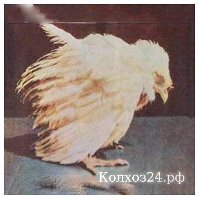 Обзор популярных заболеваний цыплят