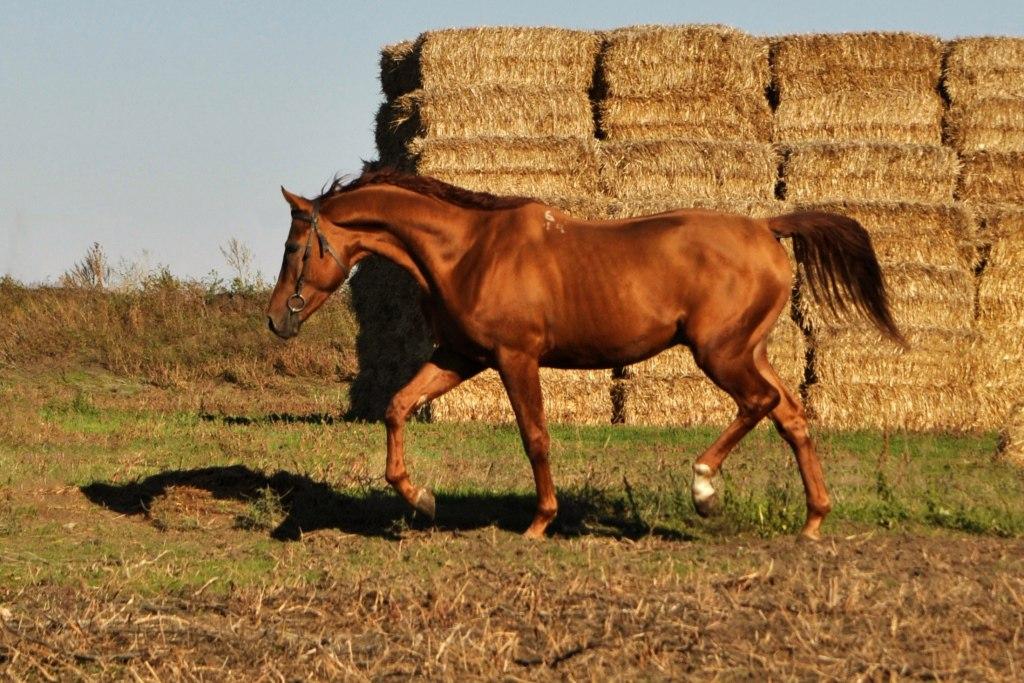 ✅ о буденновской породе лошадей: буденовский конь относится к верховым, описание - tehnomir32.ru