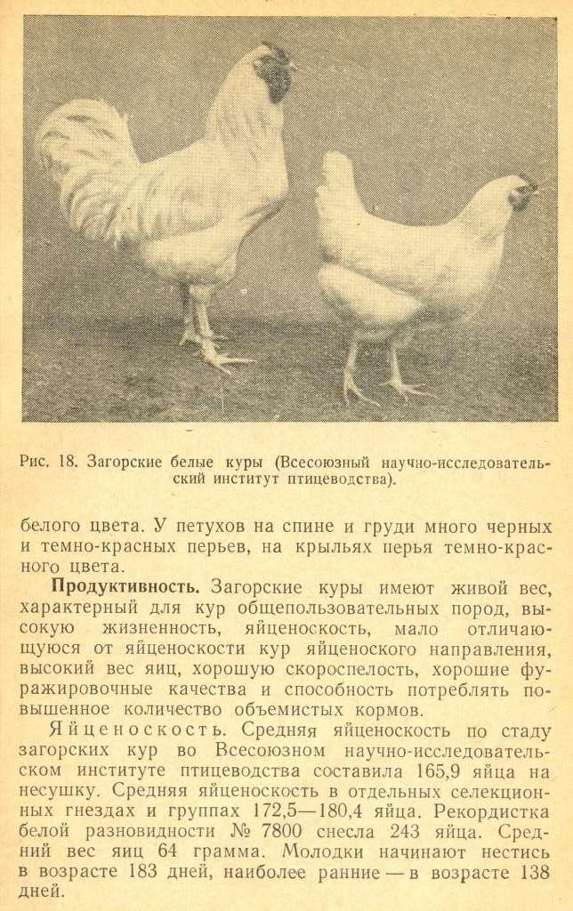 Загорская лососевая курица — птица из подмосковья