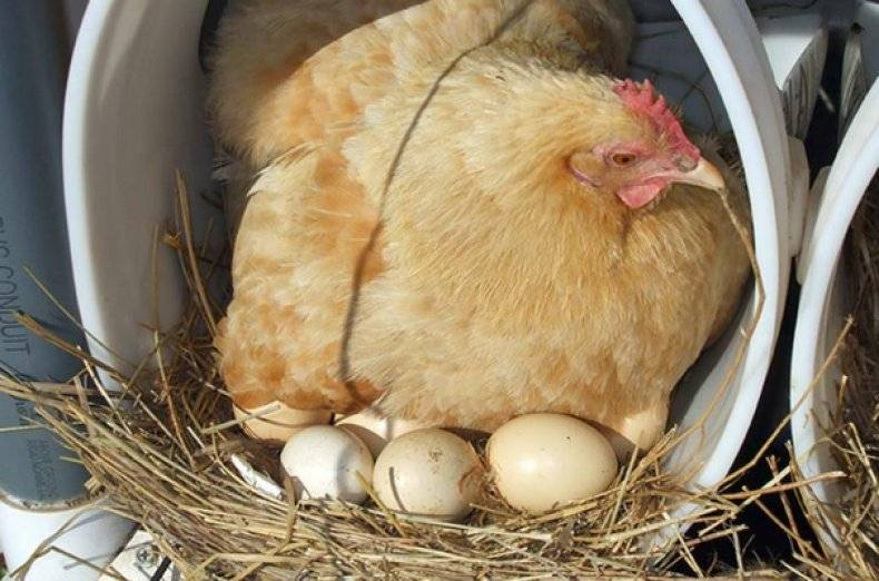 Курица села на яйца: что делать дальше, уход, кормление несушки
