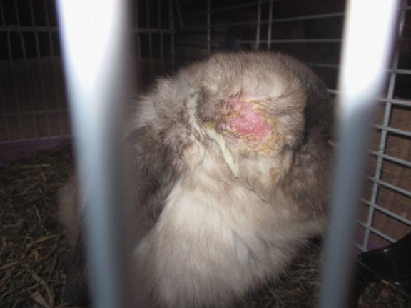 Что делать, если у кролика понос или вздулся живот?