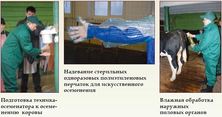 Искусственное осеменение коров: способы, фото и видео