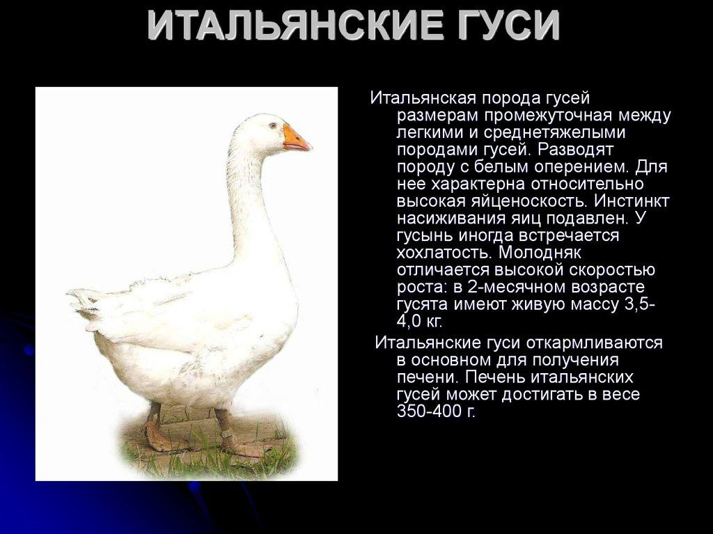 Домашние породы гусей: описание, характеристики, особенности содержания и разведения