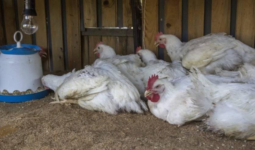 Проблема разъезжания лап у цыплят