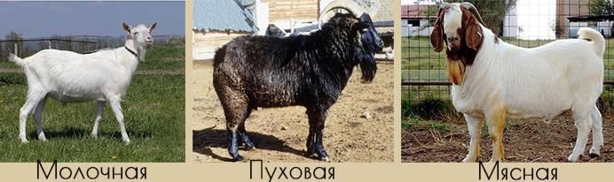 Горьковская коза: описание и характеристики породы, условия содержания, фото и разведение животных