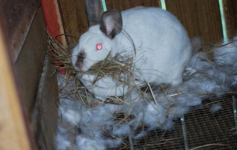 Причины поедания крольчихой приплода