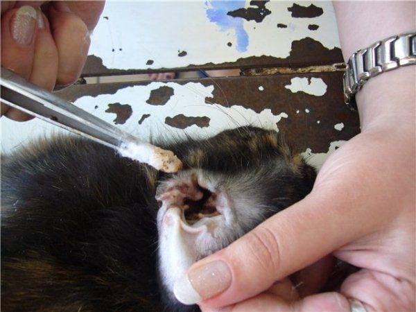 Ушной клещ у кроликов: признаки, лечение в домашних условиях
