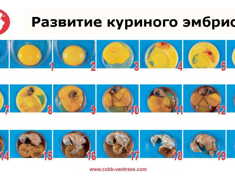 Развитие цыпленка в яйце по дням - описание, фото и видео