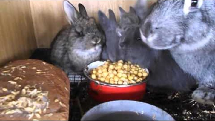 Как кормить крольчат без крольчихи, коровьим молоком – искусственное кормление