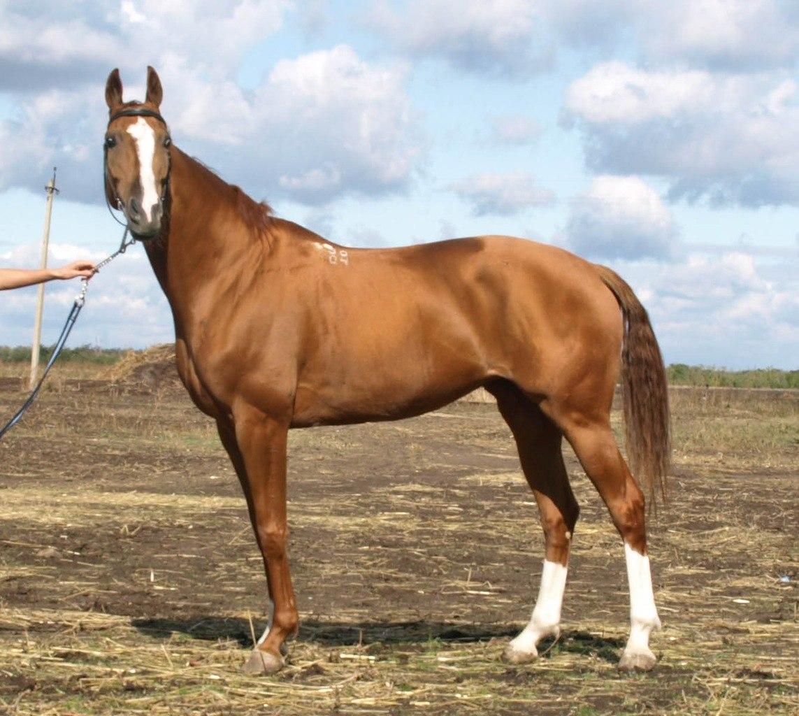Донская порода лошадей: история происхождения, тип и линии породы, применение