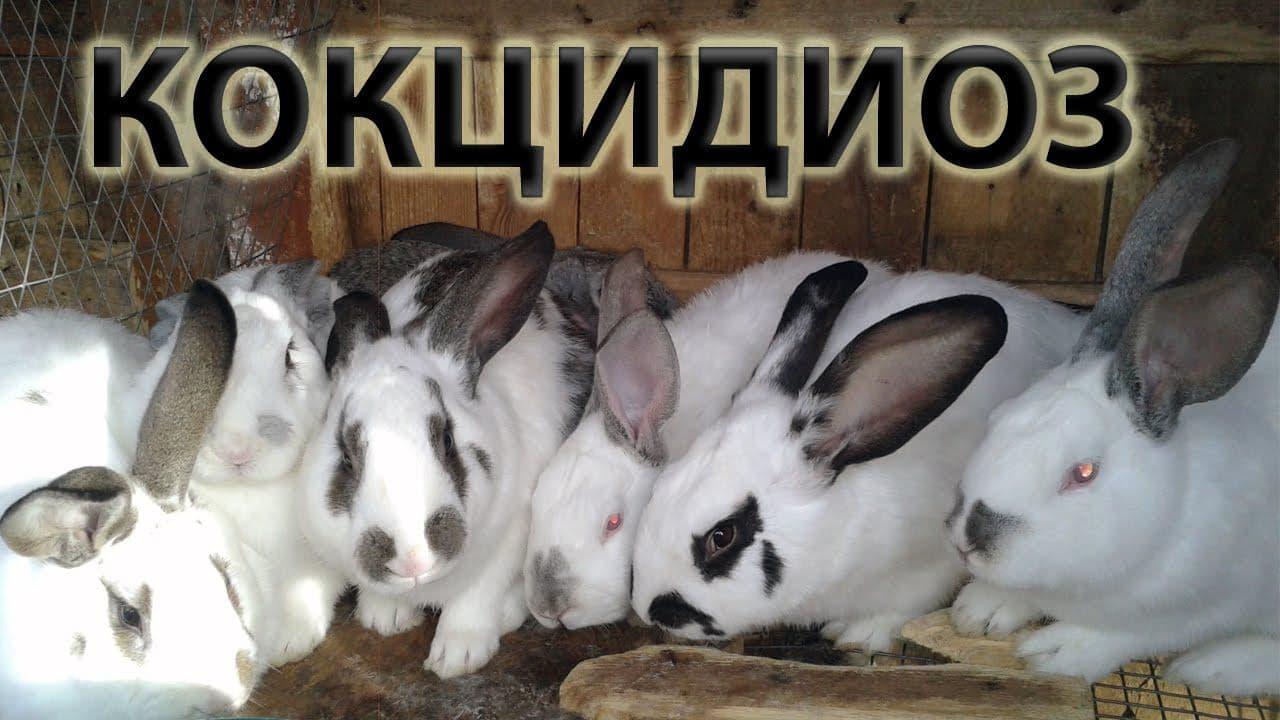 О кокцидиозе у кролика: симптомы и лечение, что давать для профилактики, йод