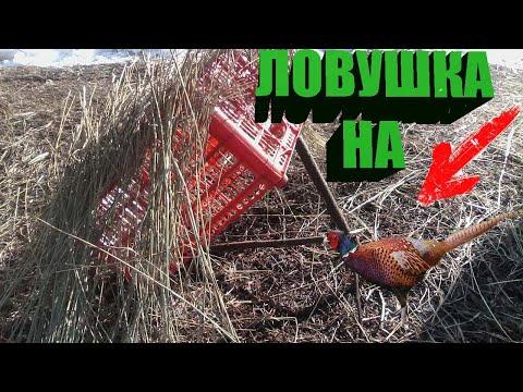 Ловушка на фазана своими руками - truehunter.ru