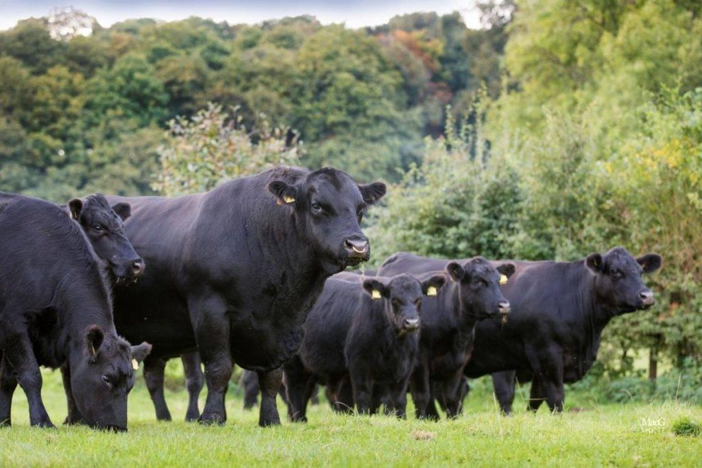 Сколько стоит живая корова в 2020 году?