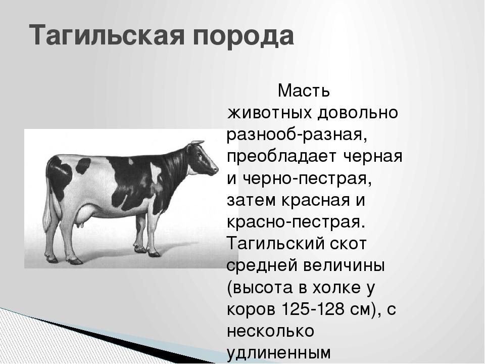 Описание и характеристики ярославской породы коров