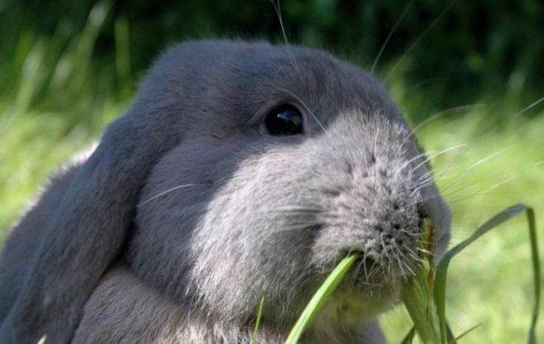 Лечим инфекционный стоматит у кроликов – серьёзная опасность