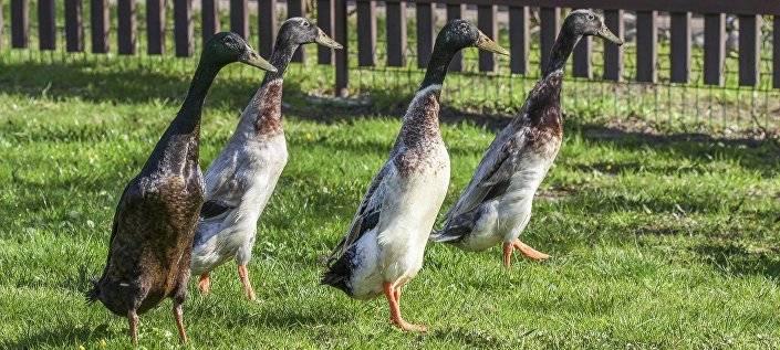 Утки индийские бегунки: породы, разведение, инкубация яиц