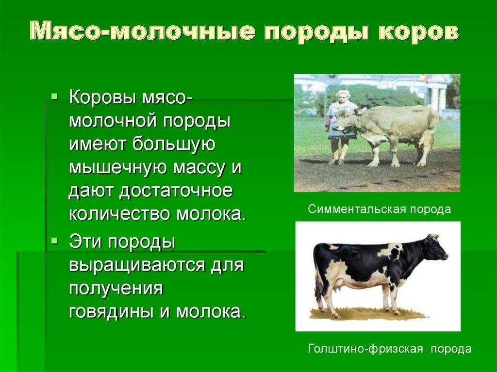 Мясные русские комолые (безрогие) корова и быки: какая это порода крс и сколько дает молока