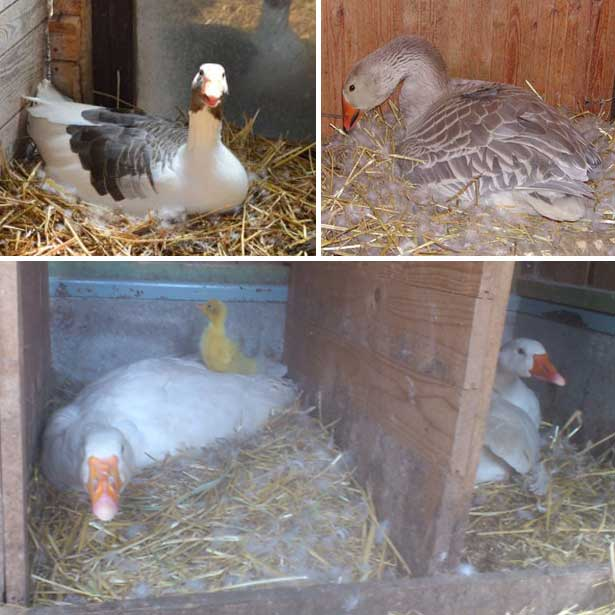 Все самое интересное о яйцекладке гусей