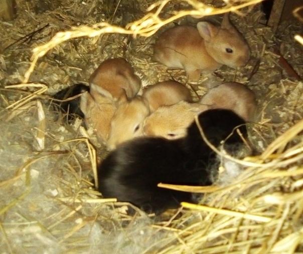 Развитие крольчат после рождения