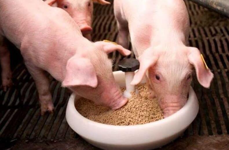 Кормление свиней: рационы, корма, типы кормления, запрещенные продукты