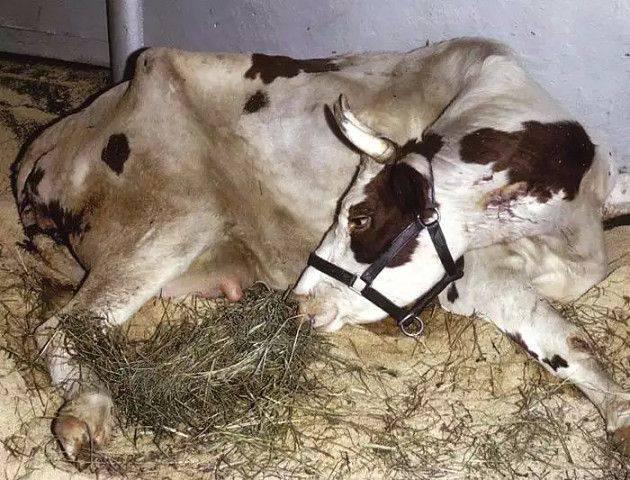 Как лечить кашель у коровы