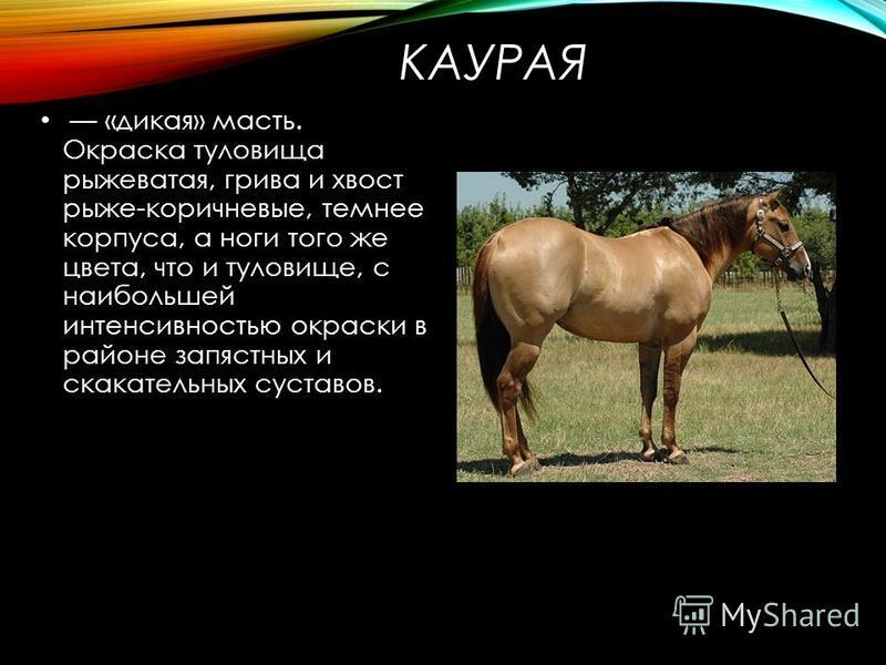 Каурый цвет лошадей — особенность и происхождение масти