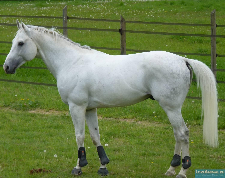 Все об арабской лошади: обзор породы, описание и характеристика с фото и видео