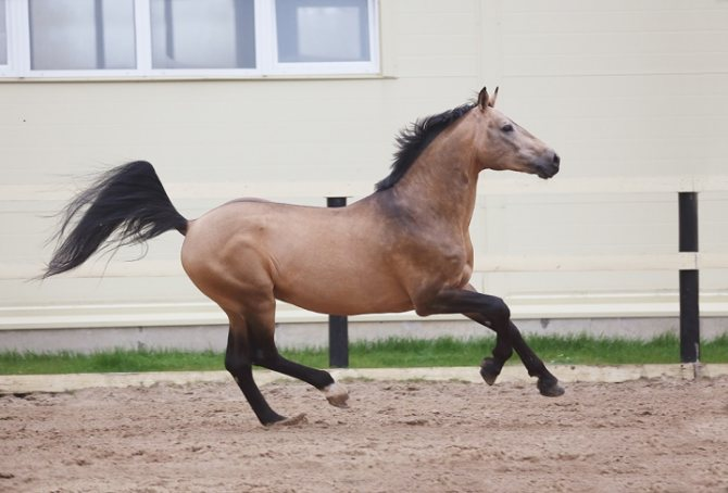 Серая масть лошадей.все самое интересное о серой масте | мои лошадки