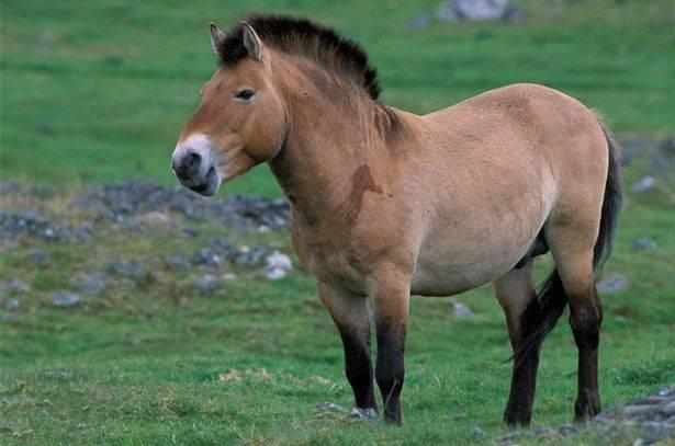 Лошадь пржевальского интересные факты. эволюция — кто раньше, лошадь или зебра?