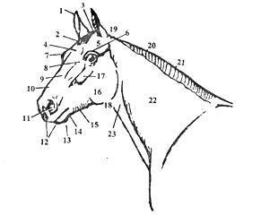 Путовый сустав у лошади — лечение суставов