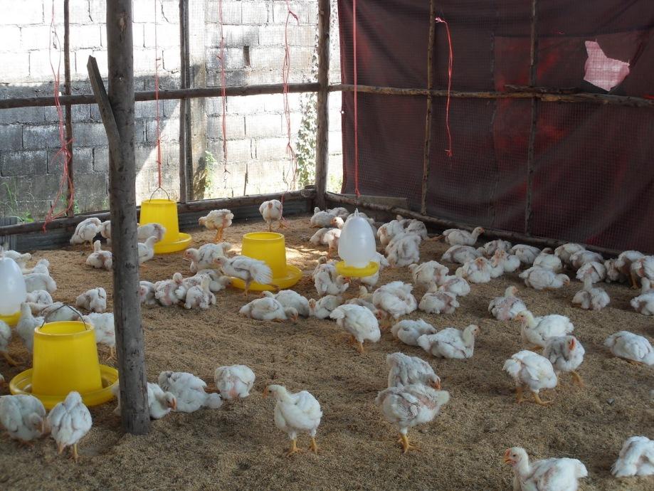 Несут ли бройлеры яйца и как они размножаются ⋆ все про кур