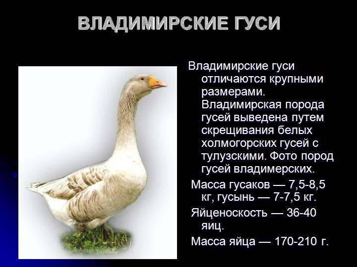 Благоварская утка — описание породы