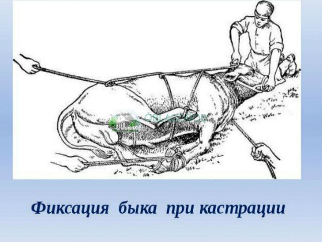Как называется кастрированный баран?