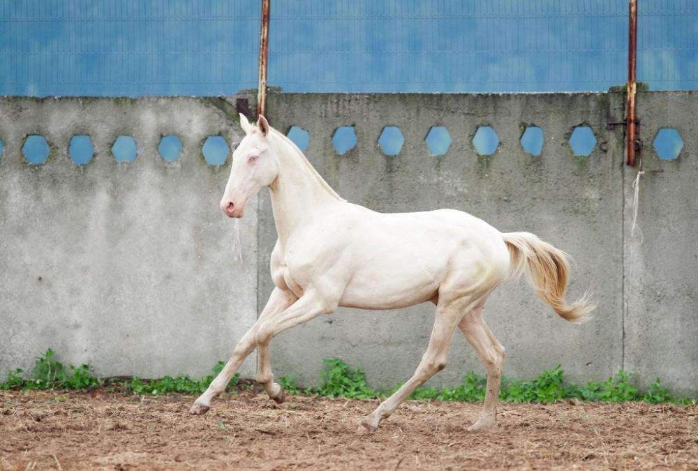 Ахалтекинская лошадь (36 фото): описание и характер коней такой породы, кремовый туркменский ахалтекинец. как ухаживать за жеребятами?