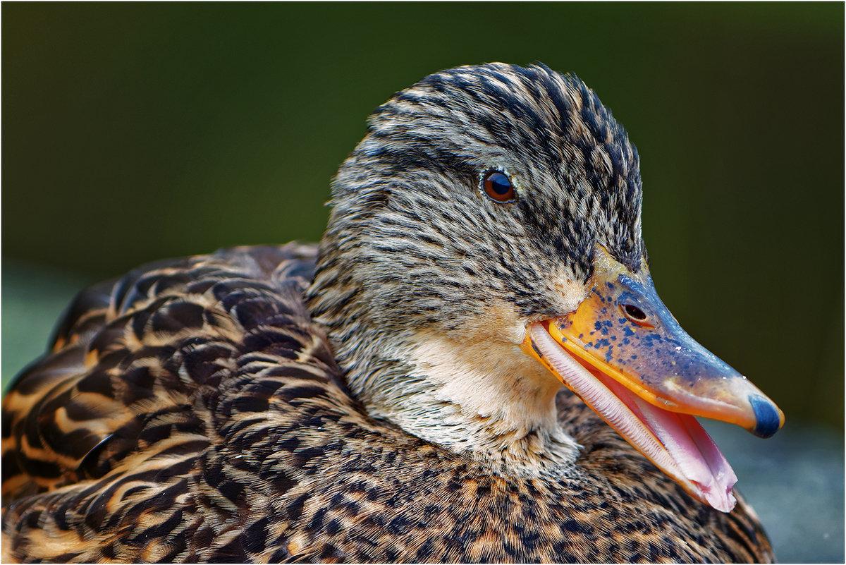 О диких утках: описание, как ухаживать за дикими утятами в домашних условиях