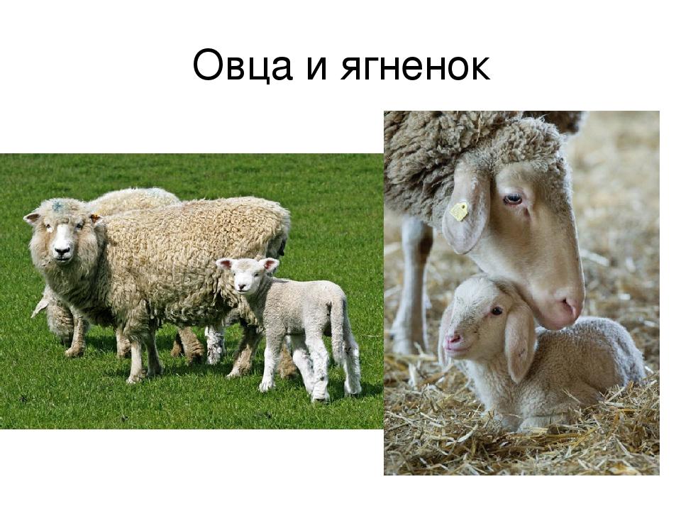Ягнёнок – что это за зверь? как называется мех ягненка младенца