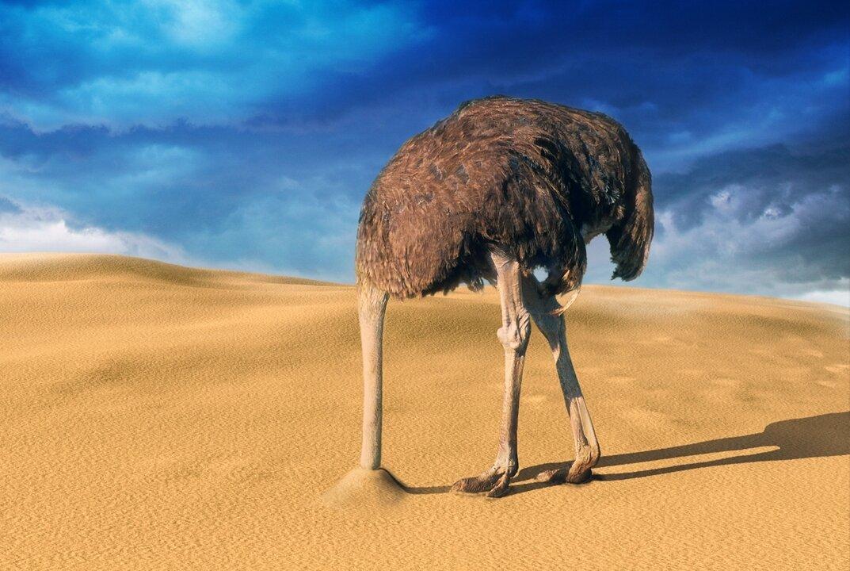 Прячет ли страус голову в песок?