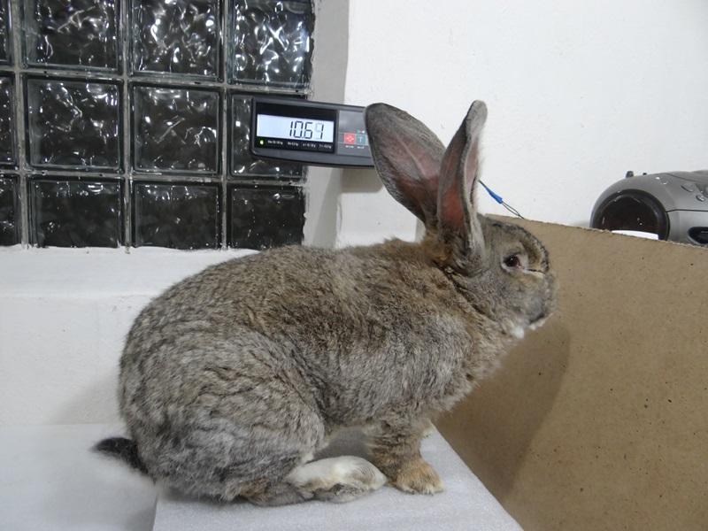 Все о бельгийских кроликах фландерах: особенности телосложения и содержание