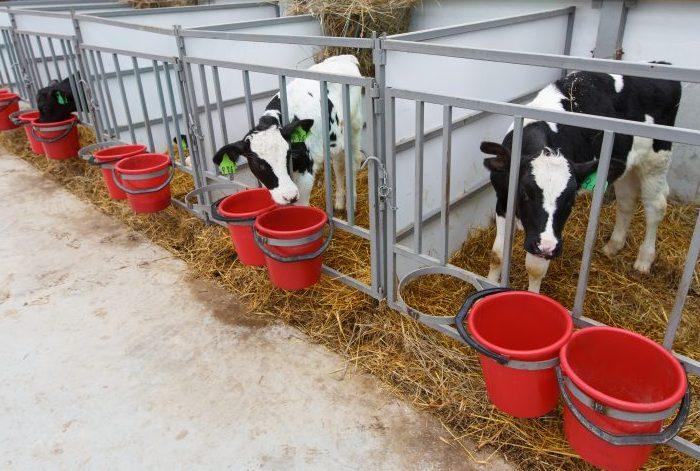 Откорм бычков на мясо в домашних условиях как бизнес