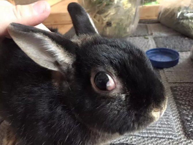 Болезни глаз кроликов: лечение в домашних условиях, фото, симптомы