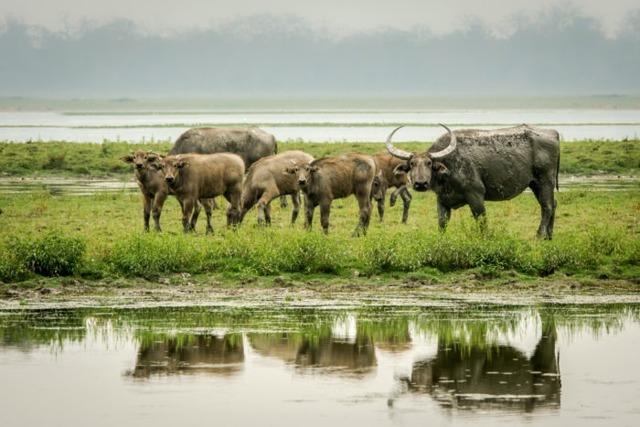 Азиатский буйвол — википедия